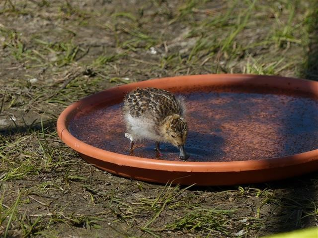 Older chick, 14 days old, feeding on freshly caught Daphnia, 19 July 2017. Photo by Roland Digby/WWT.