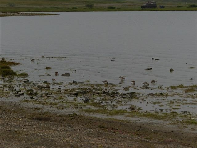 Western sandpipers and red-necked stints feeding on the shore of Lake Pekulneyskoe, 3 August. Photo by Roland Digby.