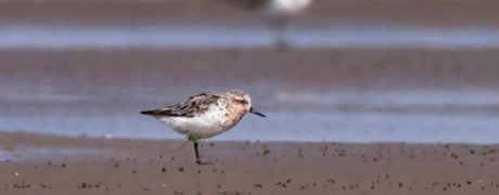 Lime 43, an adult Spoonie satellite-tagged at Meinypil'gyno, north-east Russia, now moulting in Jiangsu on 19 Sep 2017. The back-mounted tag and fine tag aerial are only just visible. Photo by Chi Yanqing.