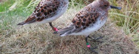 Pink Red Right (2012 female) and Pink Dark Green Right (2012 male) showing off their breeding plumage. Photo by Jodie Clements.