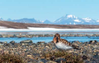 Spoon-billed Sandpiper in Meinypil'gyno. Photo by Roland Digby.