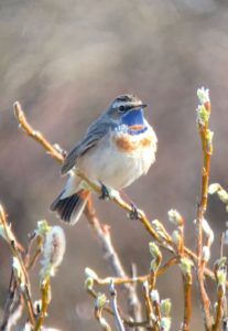 Bluethroat. Photo by James Phillips.