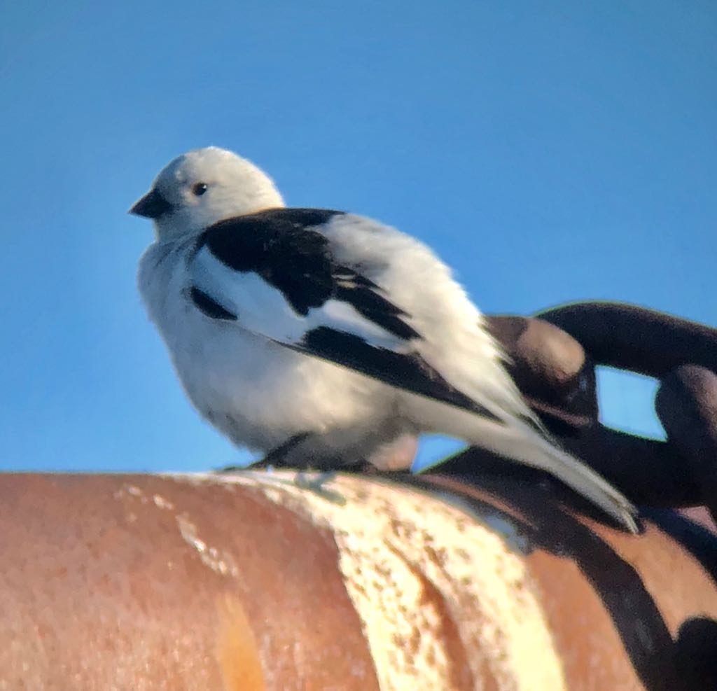 Snow Bunting. Photo by James Phillips.