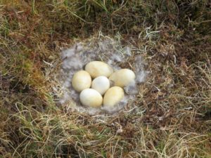 Emperor Goose nest. Photo by Jodie Clements.