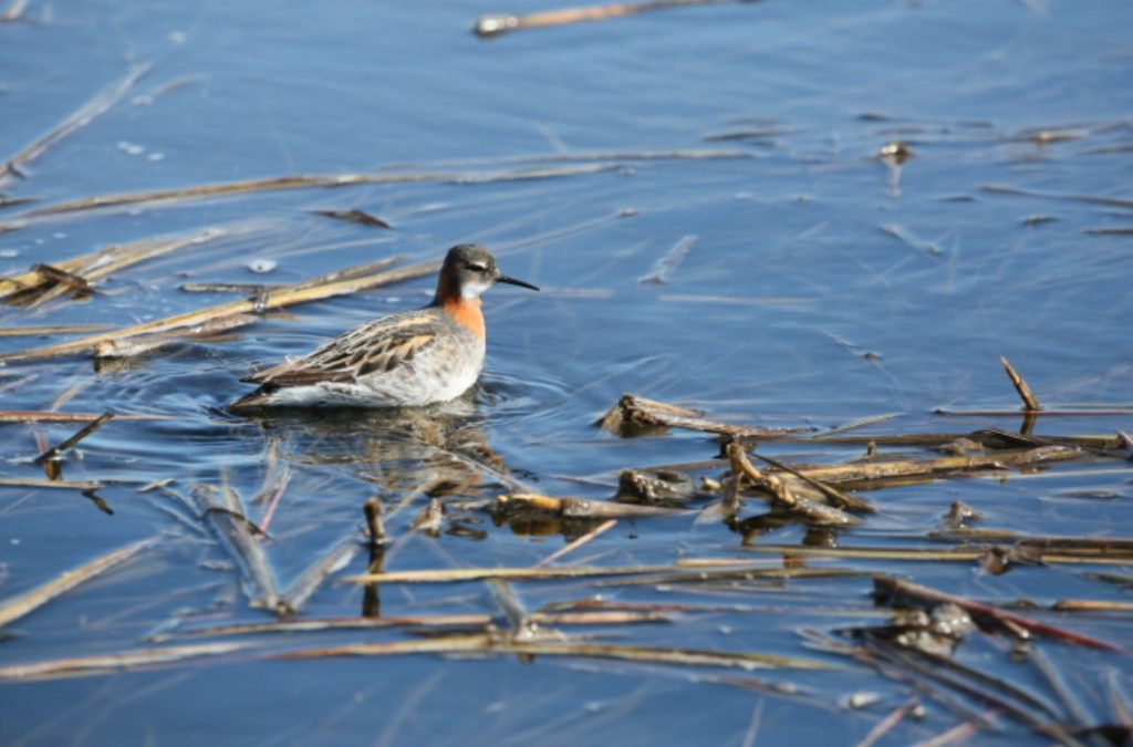 Red-necked Phalarope. Photo by James Phillips.