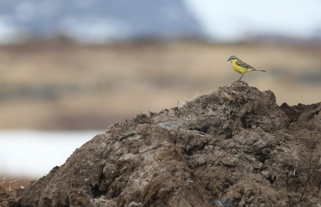 Alaskan Wagtail. Photo by Jodie Clements.