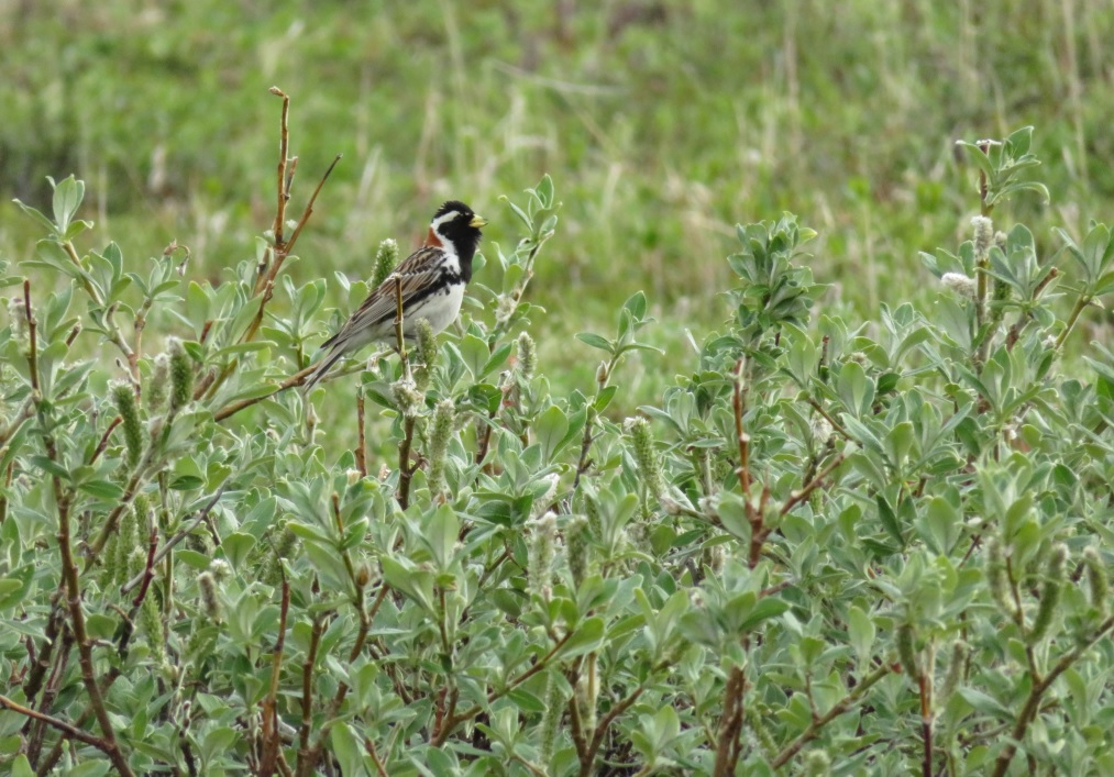 Lapland Bunting. Photo by Jodie Clements.