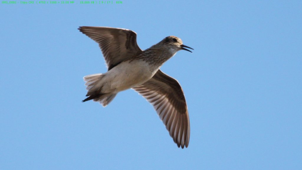 Temminck's stint performing song flight. Photo by Jodie Clements.
