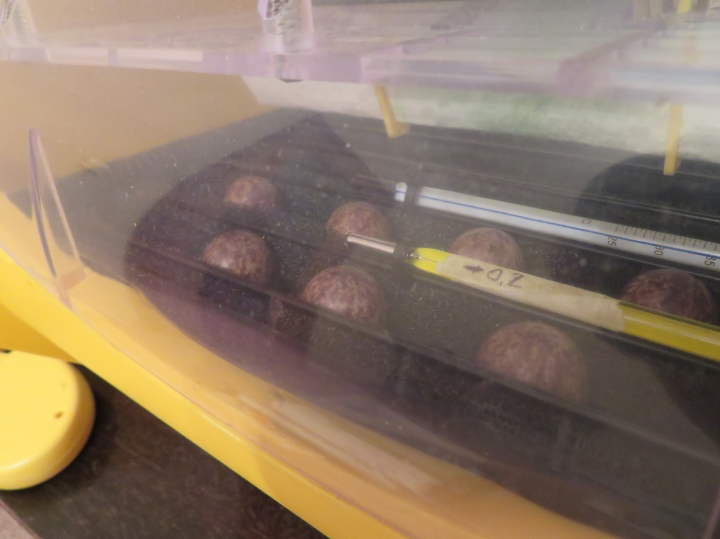 Eggs in the incubator!