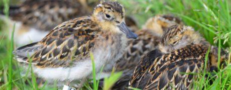 Sleepy Spoonies. Almost in complete juvenile plumage. Photo by Nikolay Yakoshev.