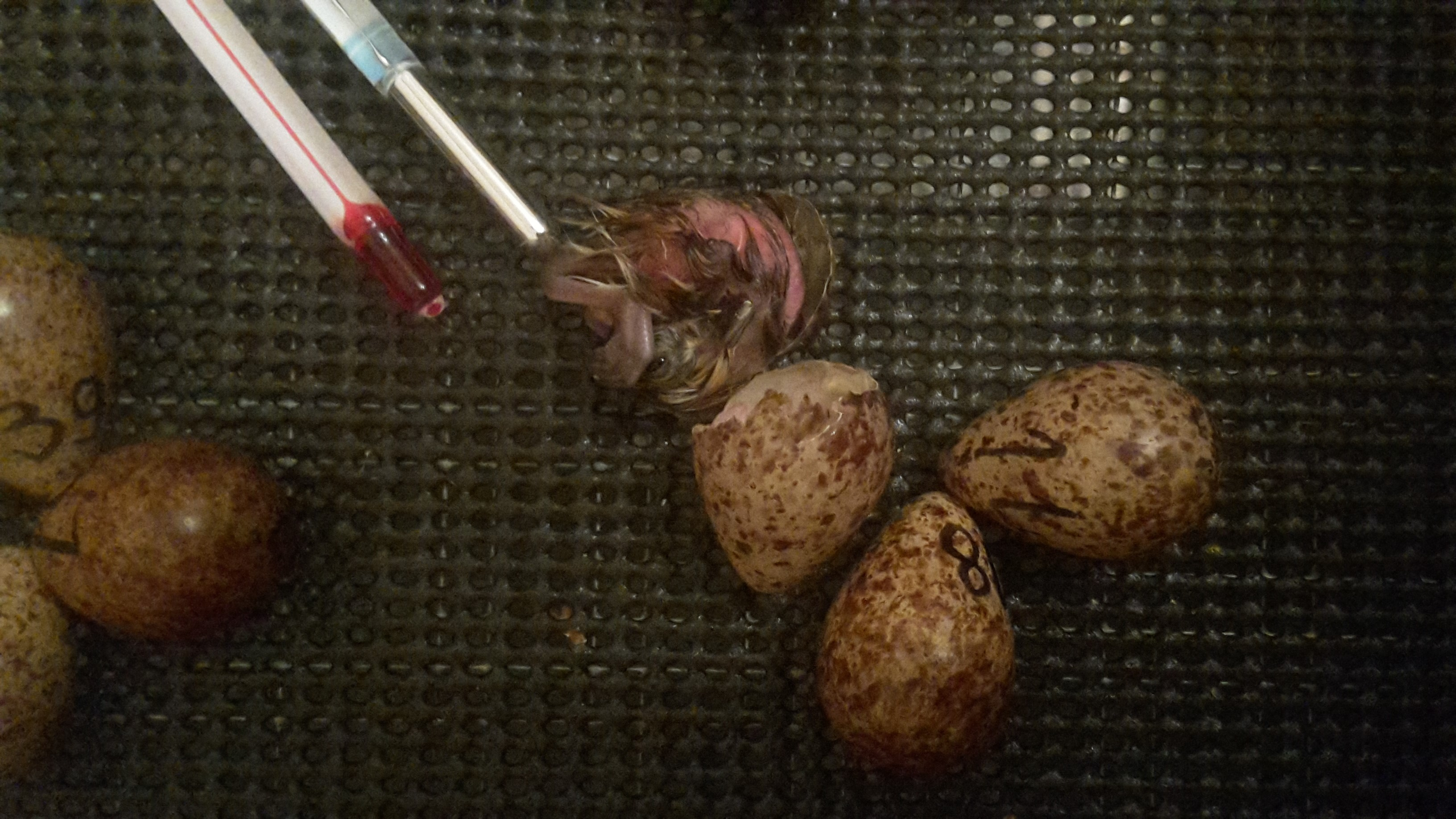 Newly hatched chick ready for weighing and colour ringing before being put in the 'Drier'. Photo by Jodie Clements.