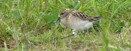 Headstarted Spoon-billed Sandpiper taking its first steps into the big wide world!