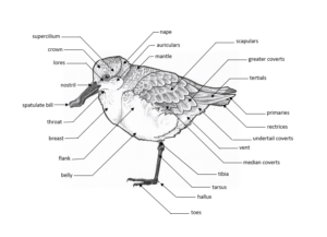 Labelled diagram of Spoon-billed Sandpiper External Anatomy