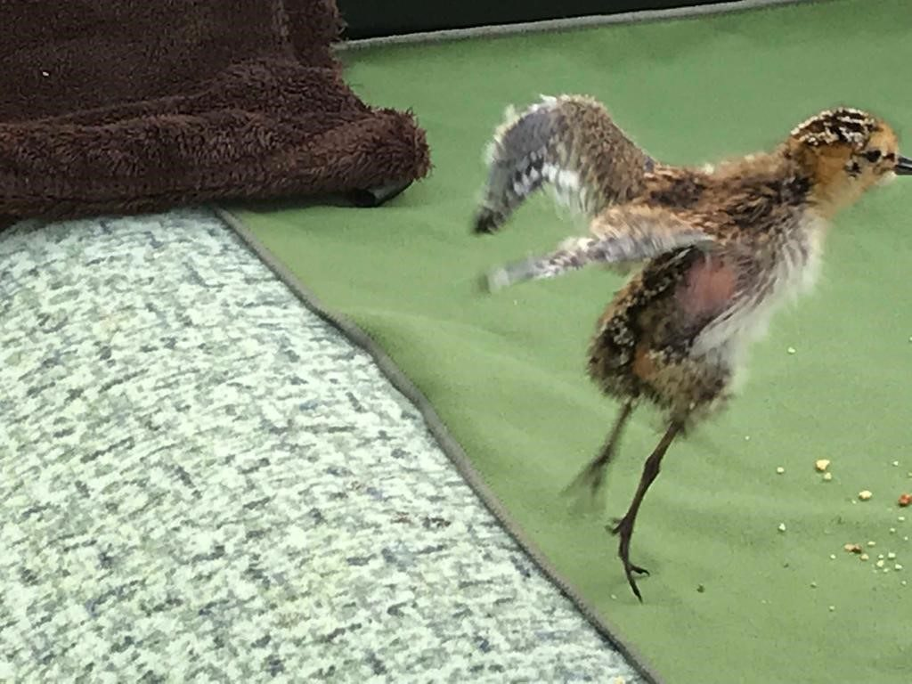 Take off! One of the Slimbridge Spoonies hatched this year. Photo by Tanya Grigg