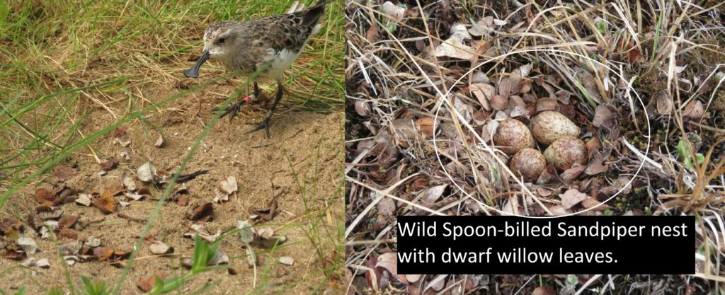 Left: Captive Spoonie 'Pink White Right' inspecting newly added dwarf willow leaves. Right: Wild Spoonies nest found in 2018 adorned with dwarf willow leaves.