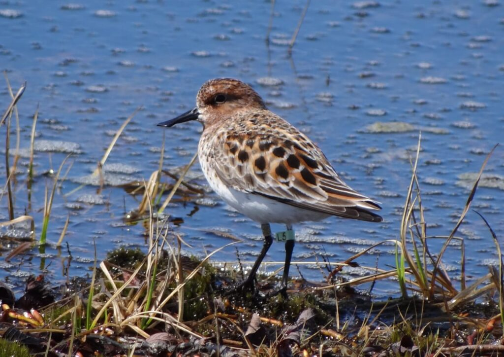 Spoon-billed Sandpiper L5 already returned this year. Photo by Egor Loktionov.
