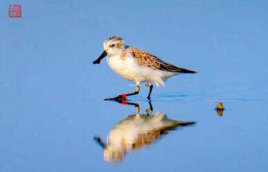 Headstarted bird '5X'. Photo by Weiguo Ren.