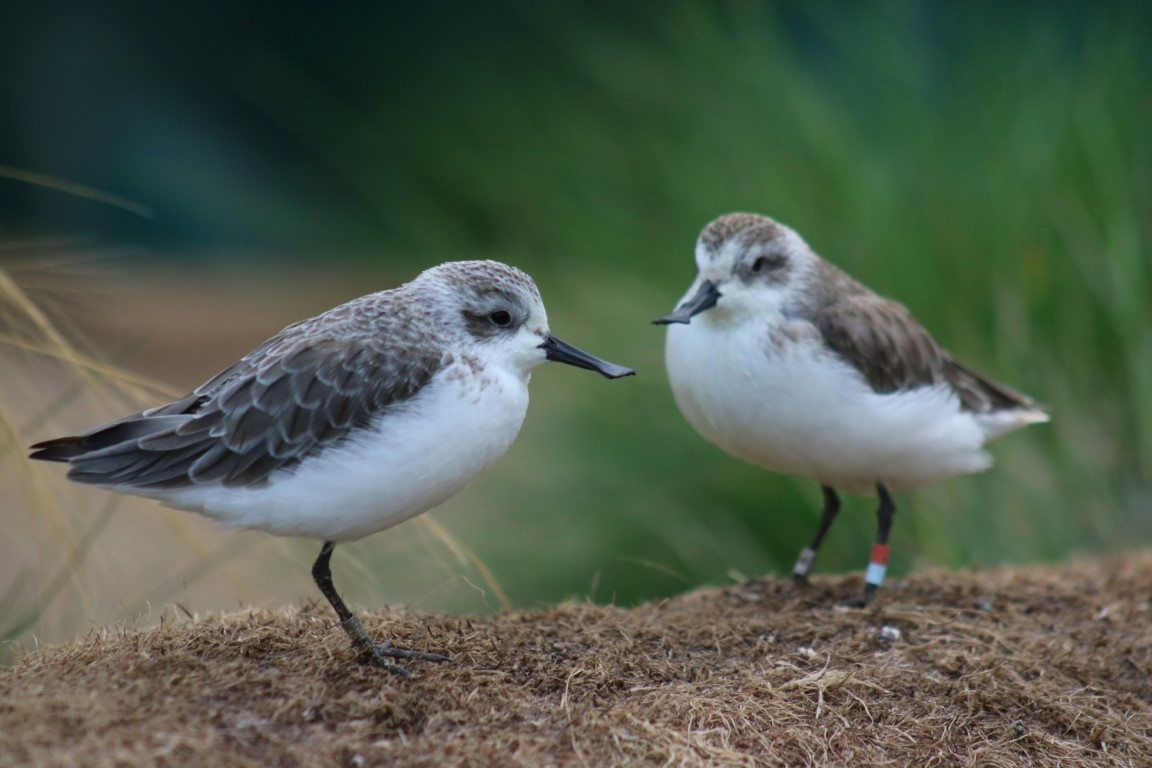 The 2019 fledged chicks, housed separate from the adults as immature birds. Photo by Jodie Clements